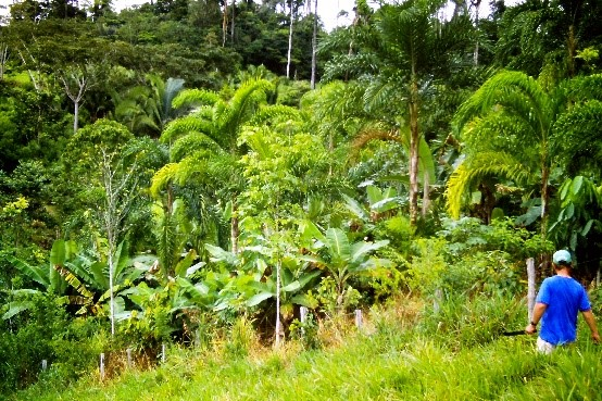 Agroforestry with acai, fruit and mahogany trees, Amazonia, Brazil