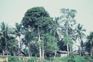 Home garden: based on coconut trees, fruit trees and timber/fuel wood
