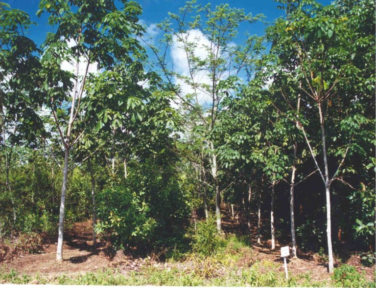Agroforestry system based on clonal hevea with energy trees (A mangium), timber (Meranti and nyatoh) and fruit trees