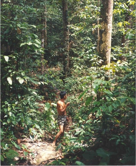 Vieille jungle rubber, Kalimantan Indonésie